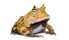 Argentine Horned Frog, Ceratophrys ornata, isolated. On white Stock Images