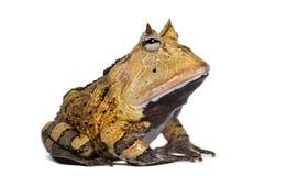 Argentine Horned Frog, Ceratophrys ornata, isolated. On white Royalty Free Stock Image