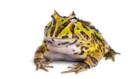 Argentine Horned Frog, Ceratophrys ornata, isolated Stock Image