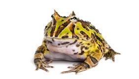 Argentine Horned Frog, Ceratophrys ornata, isolated. On white Stock Image