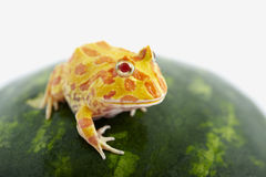 Argentine Horned Frog Royalty Free Stock Images