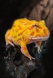 Argentine Horned Frog, Ceratophrys ornata,  on white Stock Photos