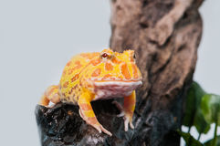 Argentine Horned Frog, Ceratophrys ornata,  on white Royalty Free Stock Image