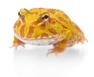 Argentine Horned Frog, Ceratophrys ornata,  on white Stock Image