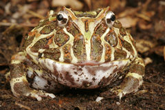 Argentine Horned Frog Stock Photography