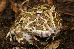 Argentine Horned Frog Stock Image