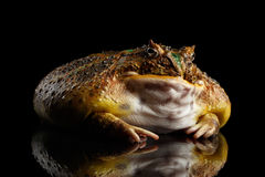 Argentine Horned Frog or Pac-man, Ceratophrys ornata Royalty Free Stock Image
