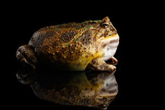 Argentine Horned Frog or Pac-man, Ceratophrys ornata. Isolated on black background with reflection stock image