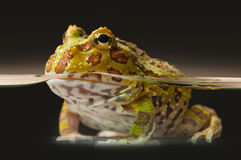 Argentine Horned Frog or Pac-man frog is most common species of Horned Frog, from the grasslands of Argentina, Uruguay and Brazil. Royalty Free Stock Photos