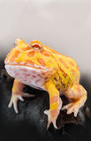 Argentine Horned Frog or Pac-man frog is most common species of Horned Frog, from the grasslands of Argentina, Uruguay and Brazil. Royalty Free Stock Images