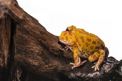 Argentine Horned Frog or Pac-man frog is most common species of Horned Frog, from the grasslands of Argentina, Uruguay and Brazil. Stock Images