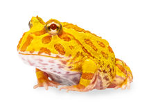 Argentine Horned Frog or Pac-man frog is most common species of Horned Frog, from the grasslands of Argentina, Uruguay and Brazil. Royalty Free Stock Photography