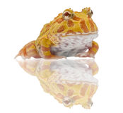 Argentine Horned Frog or Pac-man frog is most common species of Horned Frog, from the grasslands of Argentina, Uruguay and Brazil. Stock Photography