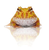 Argentine Horned Frog or Pac-man frog is most common species of Horned Frog, from the grasslands of Argentina, Uruguay and Brazil. Stock Image