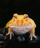 Argentine Horned Frog or Pac-man frog is most common species of Horned Frog, from the grasslands of Argentina, Uruguay and Brazil. Stock Photos