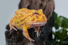 Argentine Horned Frog or Pac-man frog is most common species of Horned Frog, from the grasslands of Argentina, Uruguay and Brazil. Stock Photo