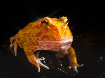 Argentine Horned Frog or Pac-man frog is most common species of Horned Frog, from the grasslands of Argentina, Uruguay and Brazil. Royalty Free Stock Photo
