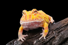 Argentine Horned Frog or Pac-man frog is most common species of Horned Frog, from the grasslands of Argentina, Uruguay and Brazil. Royalty Free Stock Image