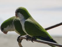 Argentine parrots in love on the beaches of Malaga. Andalucia, southern Spain. This bird is an invasive species in Malaga Royalty Free Stock Images