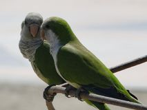 Argentine parrots in love on the beaches of Malaga. Andalucia, southern Spain. This bird is an invasive species in Malaga Stock Image