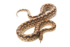 Argentine rainbow boa Royalty Free Stock Photography