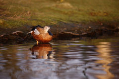 Argentine red shoveler, Anas platalea vieillot Royalty Free Stock Photography