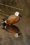 Argentine red shoveler, Anas platalea vieillot Royalty Free Stock Image