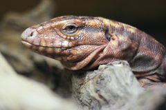 Argentine red tegu Royalty Free Stock Photo