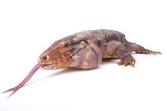 Free Argentine Red Tegu,Tupinambis Rufescens Royalty Free Stock Images - 99164459