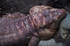 Argentine red tegu Tupinambis rufescens Stock Photo