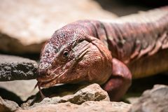 Argentine red tegu. The Argentine red tegu, Tupinambis rufescens, The Argentine red tegu is found in western Argentina, Bolivia as well as Paraguay Royalty Free Stock Photo
