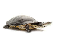 Argentine sideneck turtle Stock Images