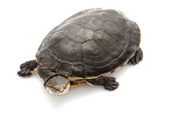 Argentine sideneck turtle Royalty Free Stock Photo
