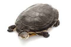 argentine sidenecksköldpadda royaltyfri foto