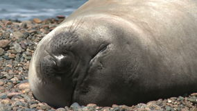 Argentinean fur seal sleeping on the coastline stock video