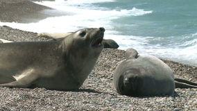 Argentinean fur seals stock video