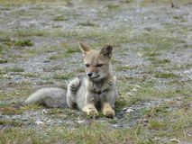 Argentinian dog / fox. Argentian dog, fox, wolf in wild nature. Wild life of animal stock photo