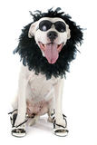 Argentinian dog. In front of white background Stock Image