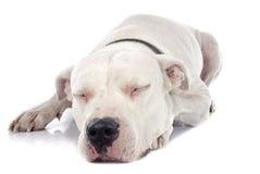 Argentinian dog Royalty Free Stock Photo