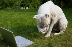 Argentinian dog with laptop Royalty Free Stock Photography
