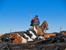 Argentinian gaucho. Riding horse with cows Stock Photos