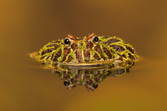 Argentinian Horned Frog (Ceratophrys Ornata) Stock Images