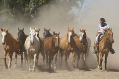 Argentinian Horses, Pampa, Argentina Royalty Free Stock Photos