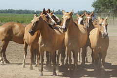 Argentinian Horses, Pampa, Argentina Royalty Free Stock Image