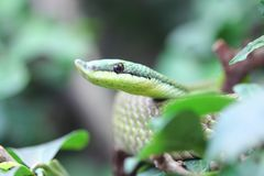Argentinian Long-nosed Tree Snake  Philodryas baroni. Philodryas baroni, common name Baron`s green racer, is a species of mildly venomous snake in the family Royalty Free Stock Photos