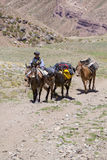 Argentinian man and donkeys carrying bags at the Aconcagua, Argentina Royalty Free Stock Image