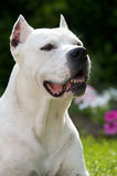 Argentinian Pit Bull dog Stock Image
