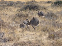 Argentinian Rhea Ostrich. Argentinian smaller ostrich, parents and babies in their wild Patagonian environment. Rhea americana Stock Photo