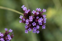Argentinian vervain Verbena bonariensis Royalty Free Stock Images
