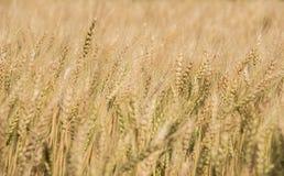 Argentinien-Landschafts-goldenes Unkraut-Feld. stockfoto